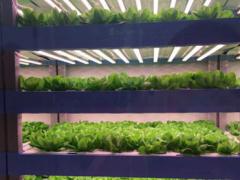 """安溪""""植物工厂"""":借力LED植物补光灯种植无污染蔬菜"""