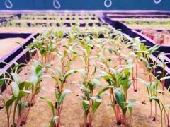 什么光谱的植物灯可以有效的促进叶类蔬菜生长?