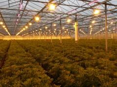 使用植物灯在温室中种植工业大麻