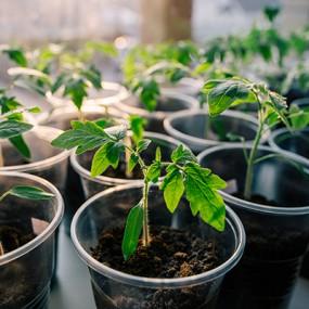 华南实验室番茄育种实验