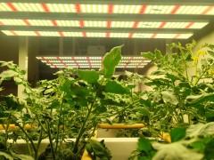 LED植物生长灯和高压钠灯在园艺生产的区别
