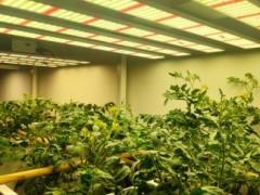 LED植物生长灯支持室内种植番茄