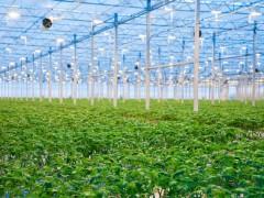 LED植物生长灯能促进植物生长的特究(下)