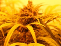 我国工业大麻仍以种植为主,CBD萃取存在困难