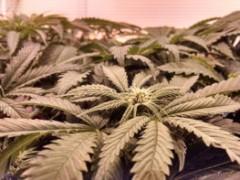 研究:大麻可以帮助患有强迫症的患者
