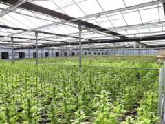 工业大麻应用广泛,其分支医用大麻的价值主要来自CBD