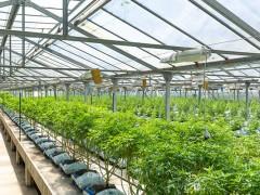 如何正确的选择植物生长灯种植工业大麻
