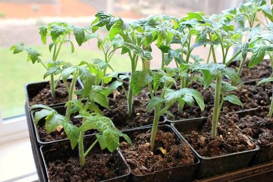 西红柿育苗2