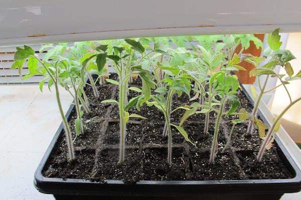 西红柿育苗3