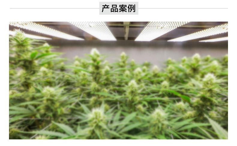 大麻植物生长灯